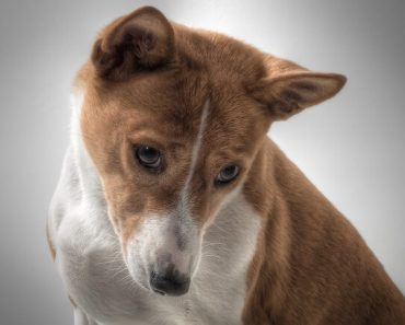 basenji questions and answers